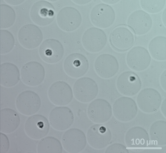clex hydrogel cells in beads